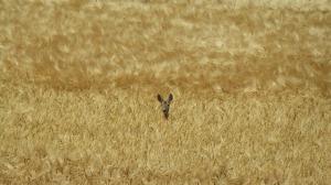 roe-deer-423597_1280